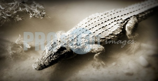 Crocodile in shallow water | ProSelect-images