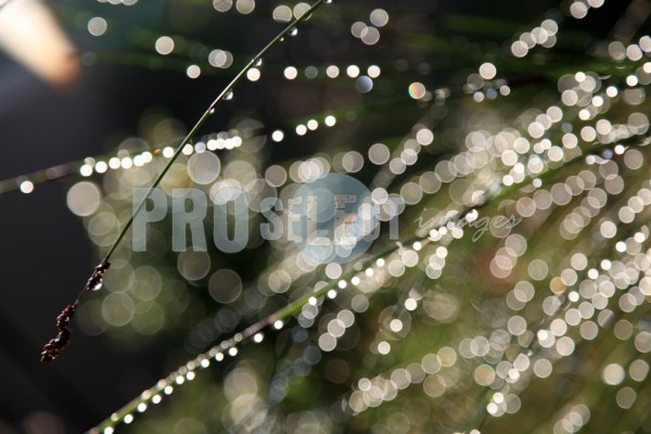 Dew Drops on grass | ProSelect-images