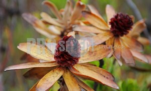 Dry flowers fynbos | ProSelect-images