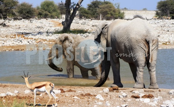 Elephant and springbok Etosha | ProSelect-images