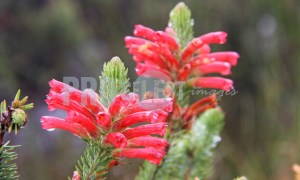 Ericas flowers Western Cape | ProSelect-images