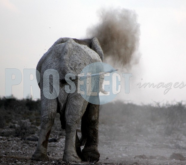 Etosha elephant blowing dust | ProSelect-images