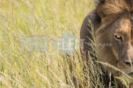 Eye of a lion | ProSelect-images