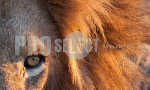Eye of the Lion | ProSelect-images