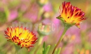 Flowers Kirstenbosch | ProSelect-images