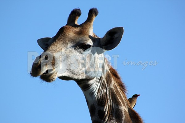 Giraffe and oxpecker | ProSelect-images