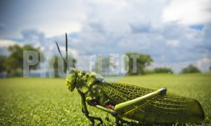 Grasshopper Orthoptera | ProSelect-images