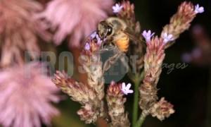 Honeybee on sucking nectar | ProSelect-images