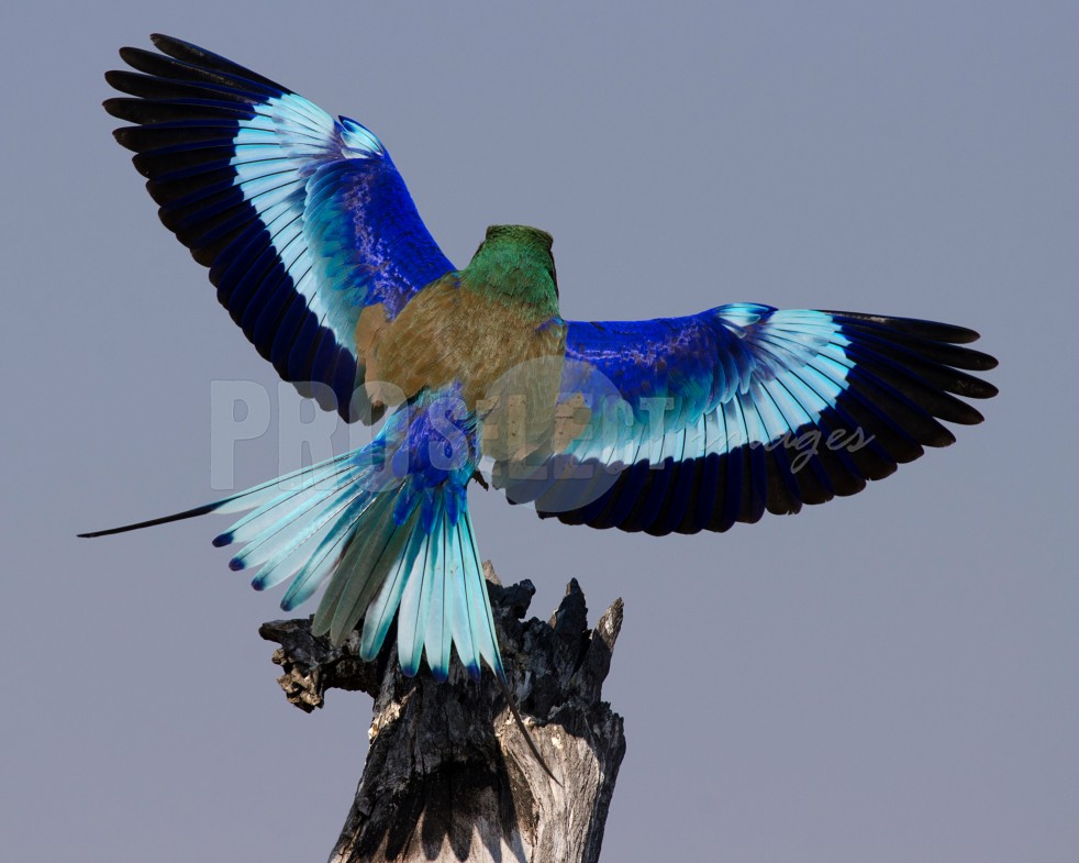 Lilac-breasted roller Troupand | ProSelect-images