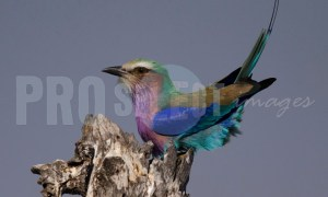 Lilac Breasted Roller | ProSelect-images