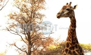 Matamba Giraffa camelopardalis | ProSelect-images