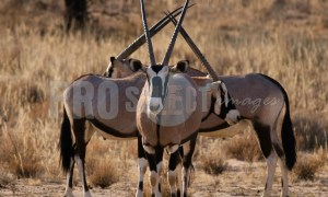 Oryx gazelle trio | ProSelect-images