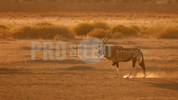 Oryx walking in desert | ProSelect-images