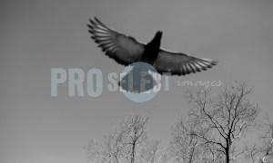 Pigeon in flight | ProSelect-images