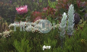 Protea and Syncarpha vestita | ProSelect-images