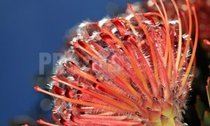 Red Proteaceae Pincushion | ProSelect-images