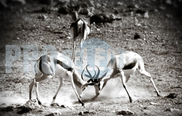 Springbok fighting | ProSelect-images