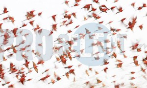 Swarm of Carmine bee eaters | ProSelect-images