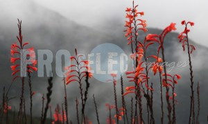Watsonia flower in fog | ProSelect-images