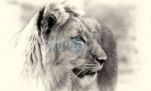 Young Lion Male | ProSelect-images