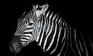 Zebra night profile | ProSelect-images