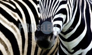 Zebra stripe fly tailspin | ProSelect-images
