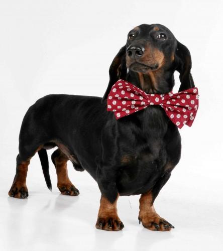 Такса: фото, описание и характеристика породы собак