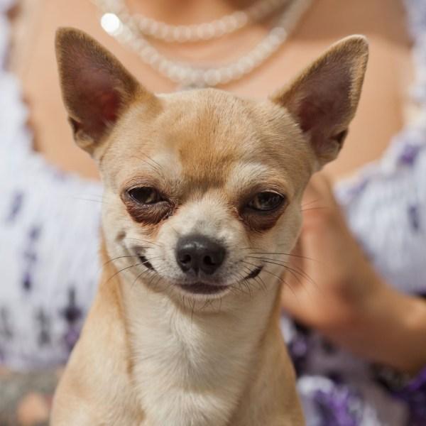 Чихуахуа: описание породы собак, сколько лет живут, чем ...