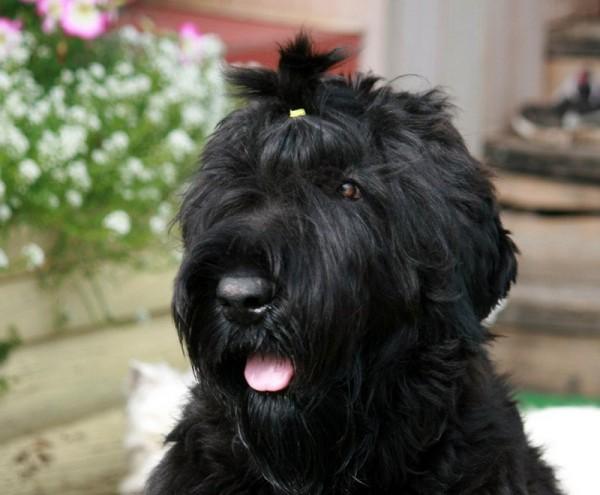 Русский черный терьер: фото и характеристика породы собак