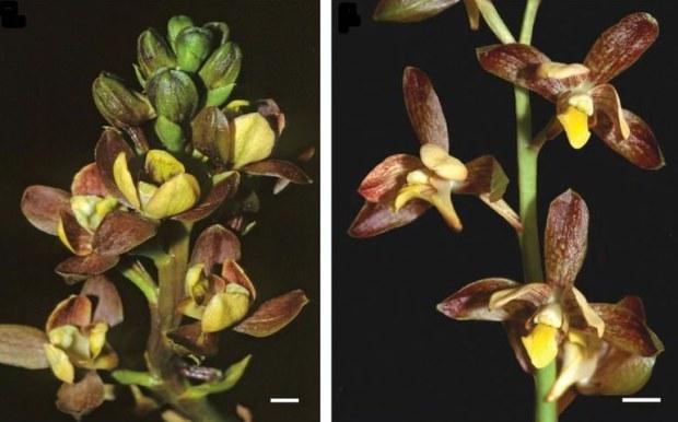 Eulophia parviflora è un'altra orchidea fasulla: i suoi fiori non hanno nessun tipo di ricompensa: cercano solo di essere fintamente appetitosi.