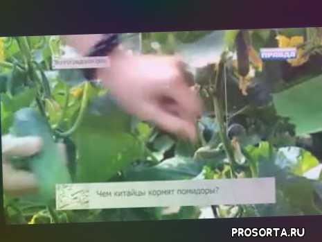 Помидоры Волгоградские т.е. китайские - Про Сорта