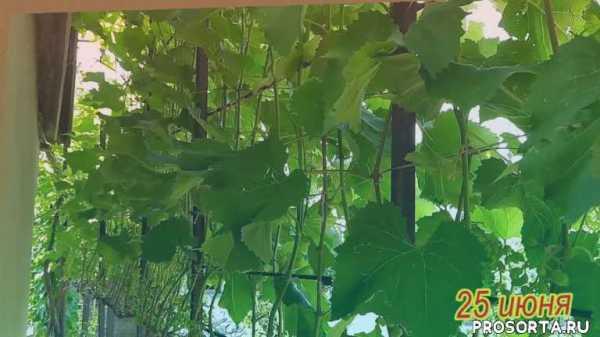 Виноград Тонус против винограда Макси / Урожай 2020 г ...