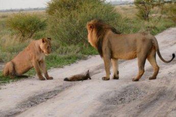 Два льва приблизились к раненому лисенку... Затем произошло то, что не поддается объяснению!