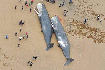 29 Мepтвых Кашалотов Были Найдены На Берегу Северного Моря. Но Самая Страшная Находка Оказалась В Их Желудках…