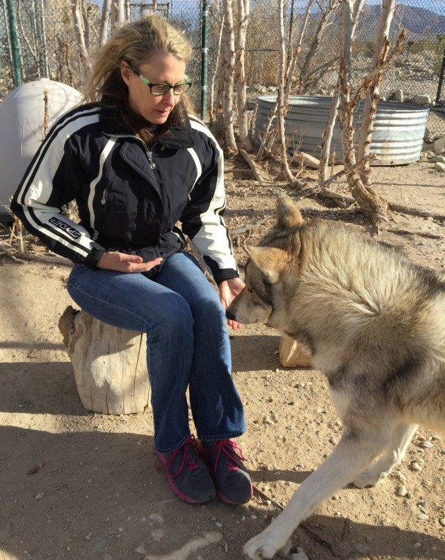Женщина спасла трёх щенков волка от гибели… Теперь это взрослые гордые животные!