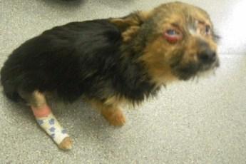 Украв собаку, подростки ее били, жгли и кормили наркотиками. Реакция на их поступок неоднозначна...