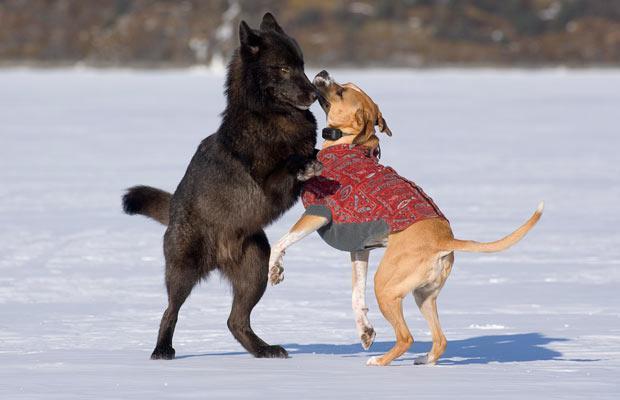 Хозяин смотрел, как волк приближался к его собаке. То, что произошло потом, похоже на сюжет из фильма