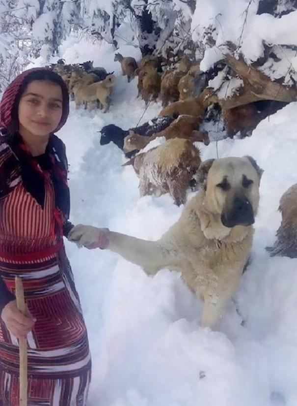 Два героя. Девочка и собака, которые спасли жизнь козы и козленка