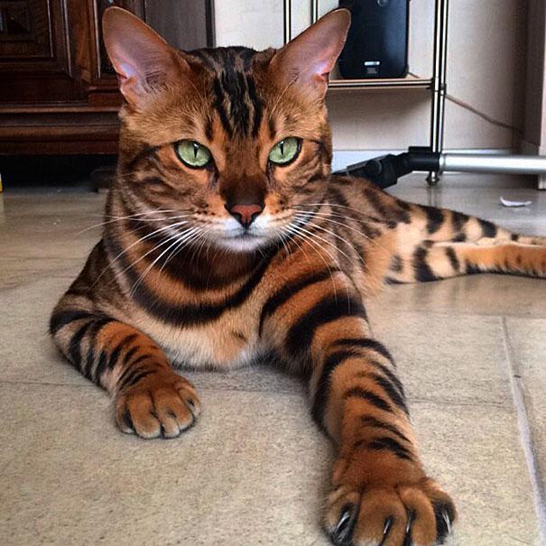 Встречайте Тора, бенгальского кота с идеально красивой шерстью