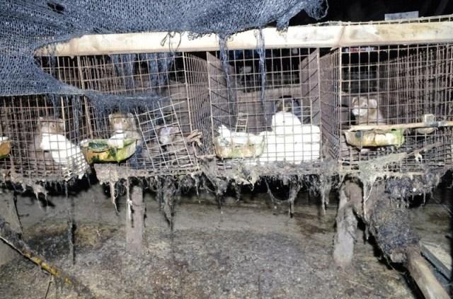 В Японии закрыта последняя меховая ферма! Тысячи животных спасены!
