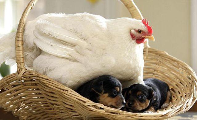 10+ фотографий, доказывающих, что куры – лучшие мамы в мире животных