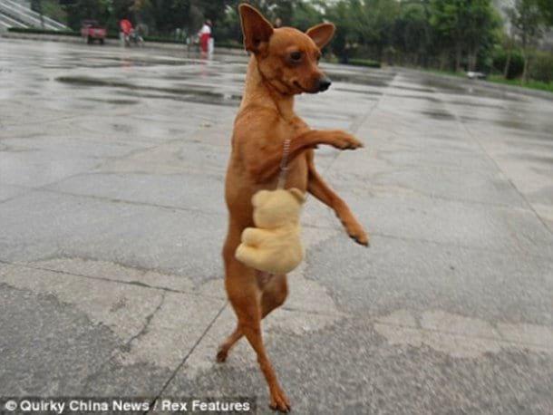 Забавные собаки, которые хотят быть похожими на людей (30 фото)