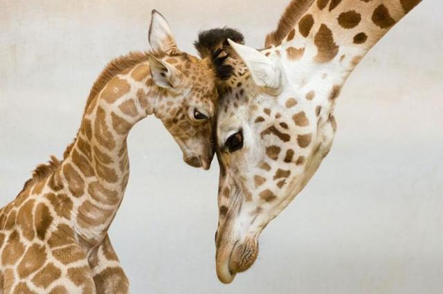 Родители и дети в царстве животных - 20 самых очаровательных фотографий