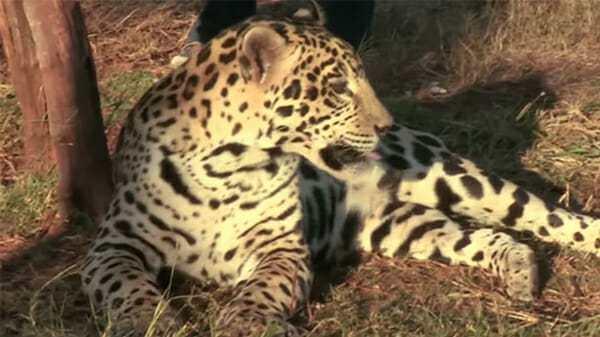 Агрессивный ягуар напал на собаку, но никто не ожидал того, что произошло дальше
