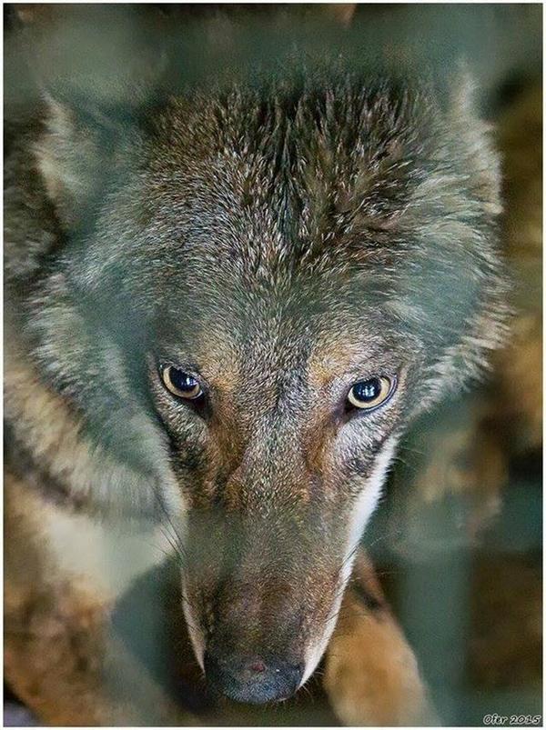 Картинки по запросу Мужчина увидел волка в канаве. Когда он подошел поближе, то увидел, что с лапой волка что-то не так