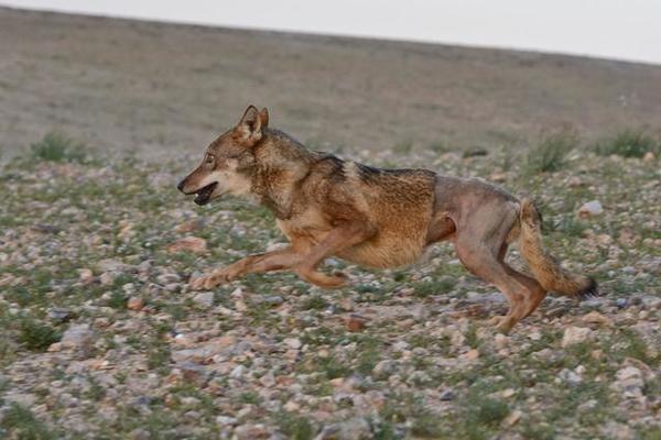 Мужчина увидел волка в канаве. Когда он подошел поближе, то увидел, что с лапой волка что-то не так