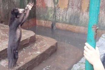 Истощенные медведи в зоопарке умоляют дать им еды