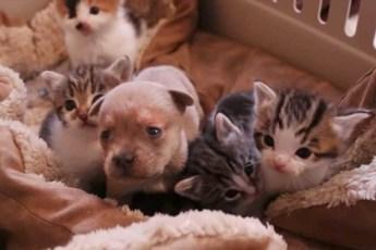 Очень достойный поступок кошки-матери, когда она увидела осиротевшего щенка