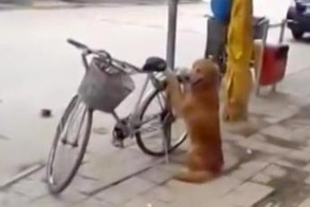 Собака охраняет велосипед. Но посмотрите, что она делает, когда возвращается хозяин