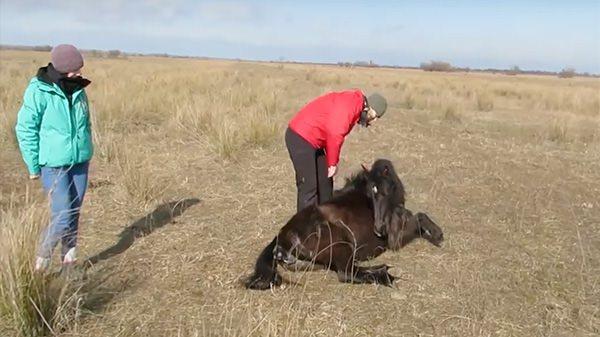 Мужчина освободил дикую лошадь от цепей. Посмотрите, как она его поблагодарила